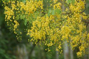 Cassia fistula(Kanikonna)