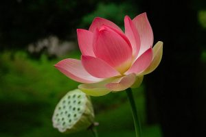 National Flower- Lotus